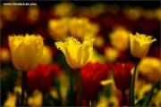 m3_116169_tulpe_fb.jpg