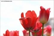 m3_116187_tulpe_fb.jpg
