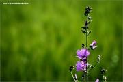 m3_118485_malve_fb.jpg