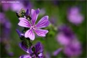 m3_118500_malve_fb.jpg