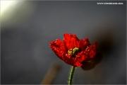 m3_119852_mohn_fb.jpg