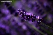 m3_123339_lavendel_fb.jpg