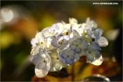 m3_129989_hortenie_fb.jpg
