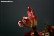 m3_132814_tulpe_fb.jpg