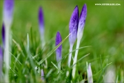 m3_132884_krokuss_fb.jpg