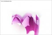 m3_814040_tulpe_fb.jpg