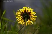 m3_818452_butterblume_fb.jpg