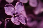 m3_819929_flieder_fb.jpg