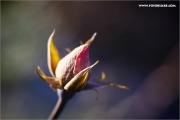 m3_914279_rose_fb.jpg