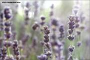 m3_932639_lavendel_fb.jpg