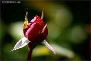 m3_933569_rose_fb.jpg