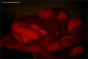 m3_934562_rose_fb.jpg