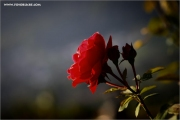 m3_934628_rose_fb.jpg