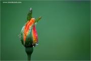 m3_936608_rose_fb.jpg