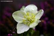 m3_939416_schneerose_fb.jpg