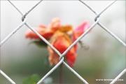 m3_939460_rose_fb.jpg