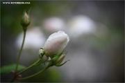 m3_939532_rose_fb.jpg