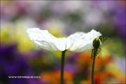 m5_178421_tulpe_fb - Kopie