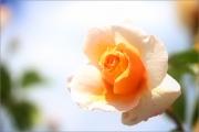 m5_209616_rose_fb