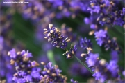 mf_119681_lavendel_fb.jpg
