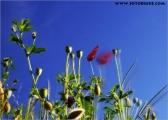 mohn_im_wind_04_fc.jpg