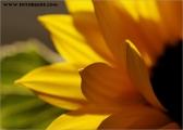 c20_548776_sonnenblume_fb.jpg