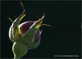 c20_619890_rose_fb.jpg