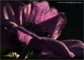 c20_633201_annemone_fb.jpg
