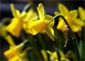 c20_636900_narzisse_fb.jpg