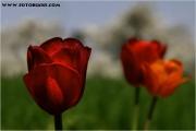 c20_641139_tulpe_fb.jpg