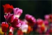 c20_641198_tulpe_fb.jpg
