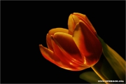 c21_713804_tulpe_fb.jpg