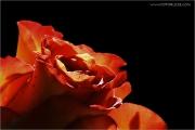 c21_717493_rose_fb.jpg