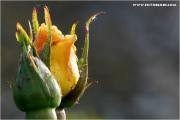 c21_722494_rose_fb.jpg
