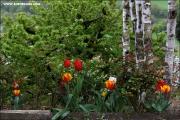 d100_155336_tulpen_fb