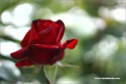 d100_156912_rose_fb