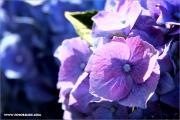 d600_123434_hortensie_fb.jpg