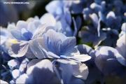 d600_123441_hortensie_fb.jpg