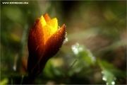 d600_136840_krokus_fb.jpg