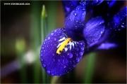 d600_138000_iris_fb.jpg