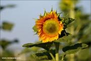m3_102633_sonnenblume_fb.jpg