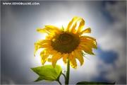 m3_106299_sonnenblume_fb.jpg