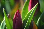m3_107161_tulpe_fb.jpg