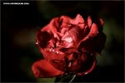 m3_108735_rose_fb.jpg