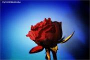m3_108742_rose_fb.jpg