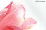 m3_109312_tulpe_fb.jpg