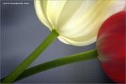 m3_109335_tulpe_fb.jpg