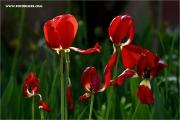 m3_109633_tulpen_fb.jpg