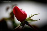 m3_110921_rose_fb.jpg