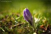 m3_114091_krokus_fb.jpg